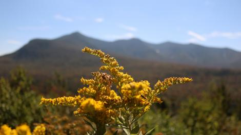 Goldenrod blooms in Green Mountain National Forest