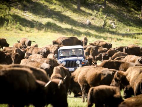 Rodeo anual para mover a la manada de 1300bisontes en Custer State Park