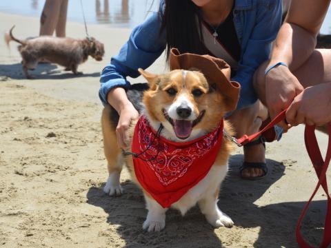 Proud participant in Corgi Beach Day