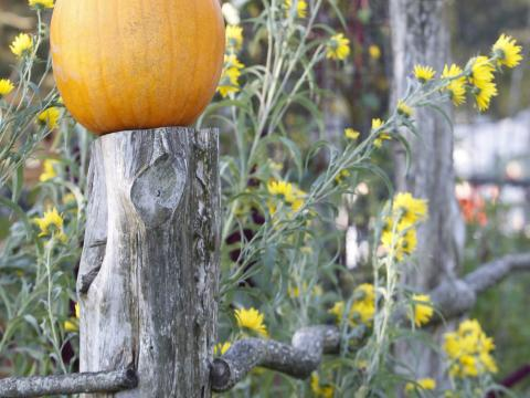 Pumpkins decorate a rustic fence during the Olde Tyme Harvest Festival