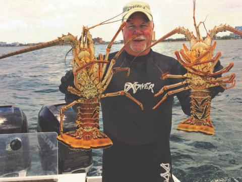 Spiny lobster caught during the annual BugFest in Lauderdale-by-the-Sea