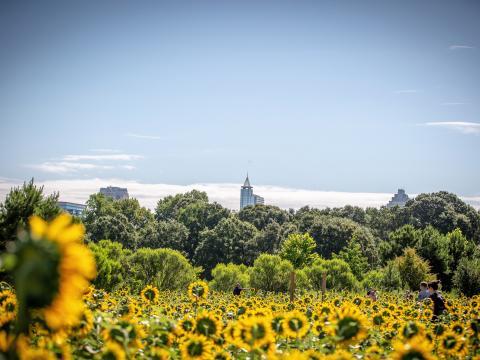 Girasoles en Dorothea Dix Park en Raleigh, Carolina del Norte